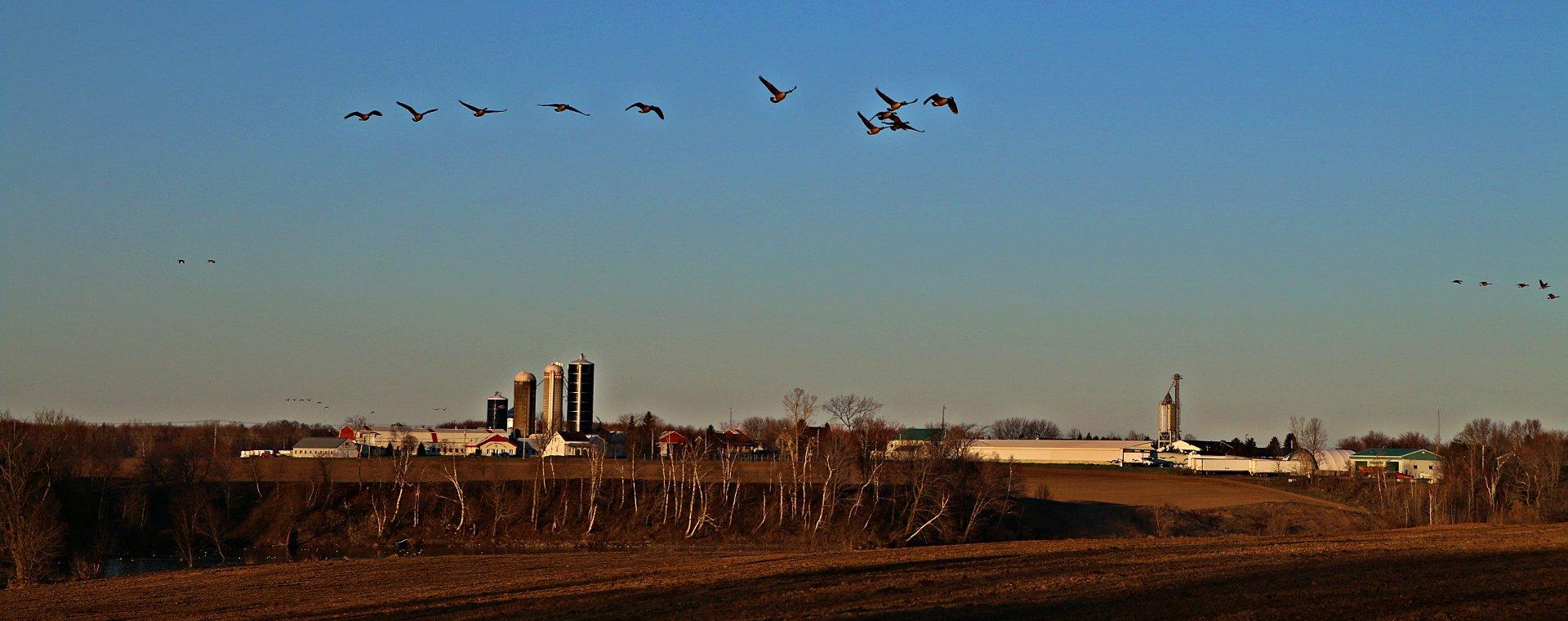 vol d'oiseau fermier